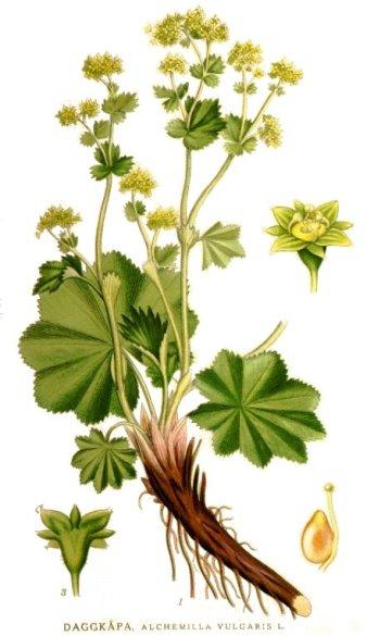 alchemilla vulgaris erbario